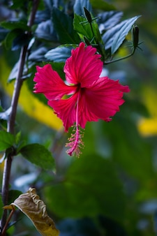 Hibiscus bloem