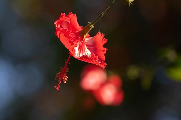 Hibiscus draagt zijn kleuren en al zijn details in de natuur. natuurlijk licht, selectieve focus.