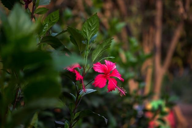 Hibiscus is een geslacht van bloeiende planten in de malvefamilie malvaceae