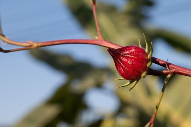 Hibiscus sabdariffa of roselle bloem