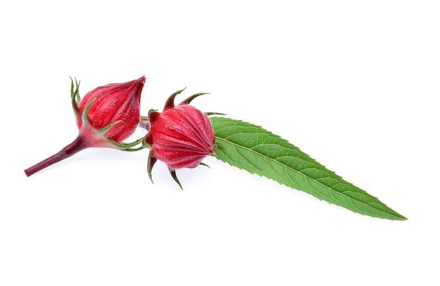 Hibiscus sabdariffa of roselle vruchten geïsoleerd op een witte achtergrond