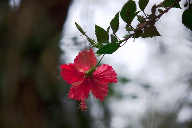 Hibiscus-soort hibiscus bloeit in de lente