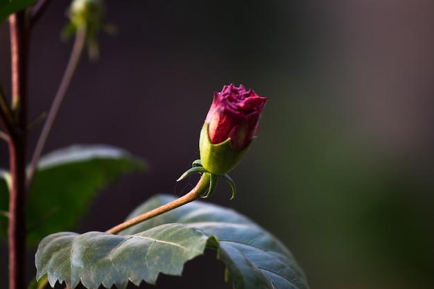 Hibiscusbloem in de malvefamilie malvaceae hibiscus rosasinensis bekend als de schoenbloem