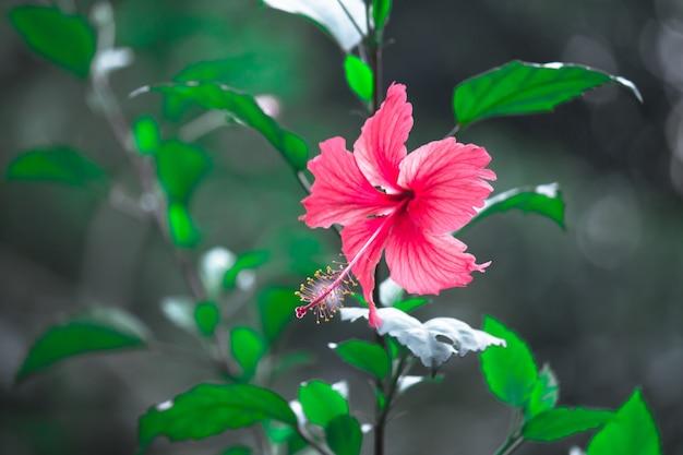 Hibiscusbloem in de malvefamilie malvaceae hibiscus rosasinensis bekend als shoe flower