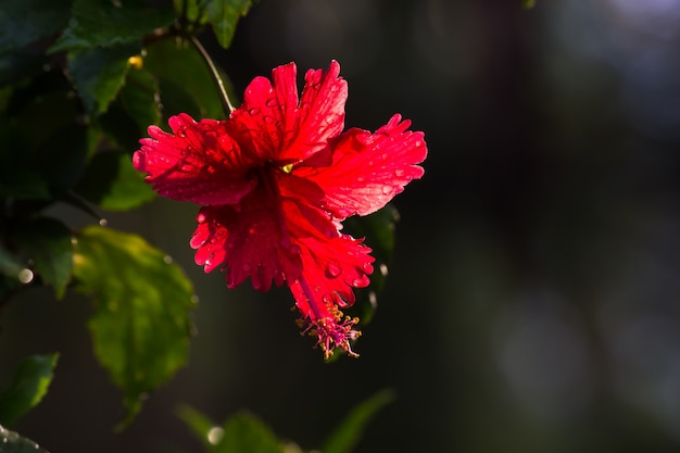 Hibiscusbloem in volle bloei tijdens de lente in een openbaar park in india