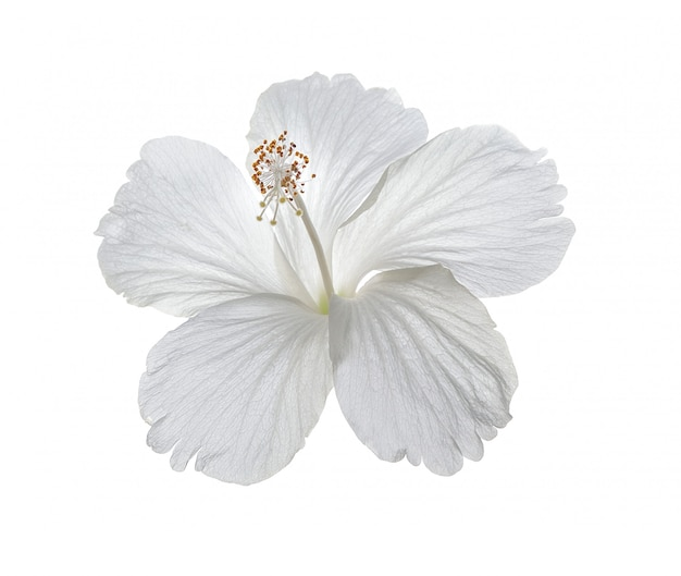 Hibiscusbloem op witte muur
