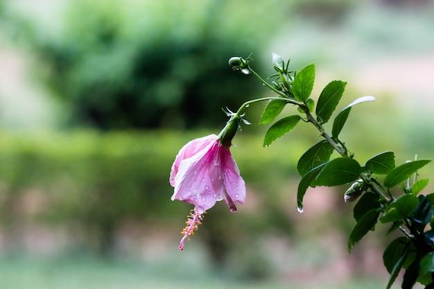 Hibiscusbloem werd tijdens de moesson in de regen in een openbaar park in india