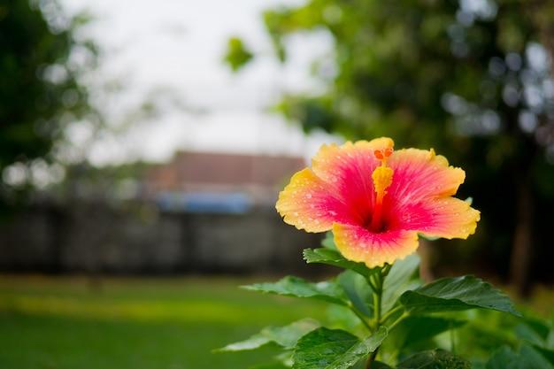 Hibiscusbloemen, aardachtergrond