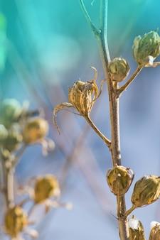 Hibiscuszaden in de winter. bruine en droge hibiscuszaden. hibiscusfruit met zaden