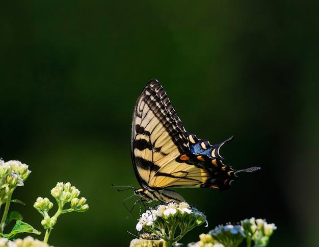 Hier zien we een oostelijke tijgerzwaluwstaartvlinder en een onbekende maar kleurrijke gast