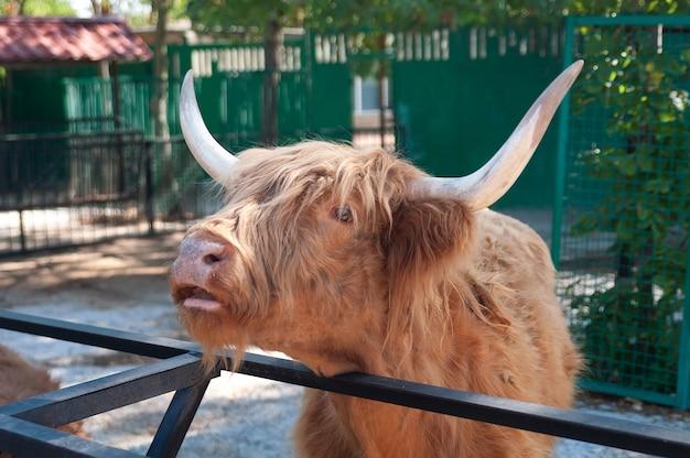 Highland cow in de dierentuin