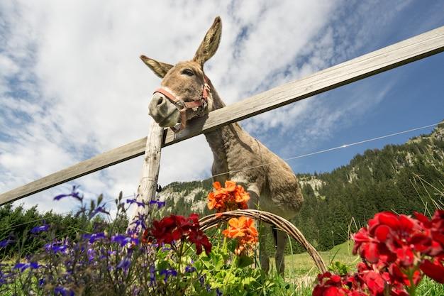 Hilarische ezel met grote oren is hongerig naar bloemen.