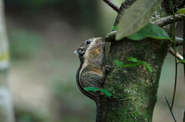 Himalaya gestreepte eekhoorn of birmese gestreepte eekhoorn