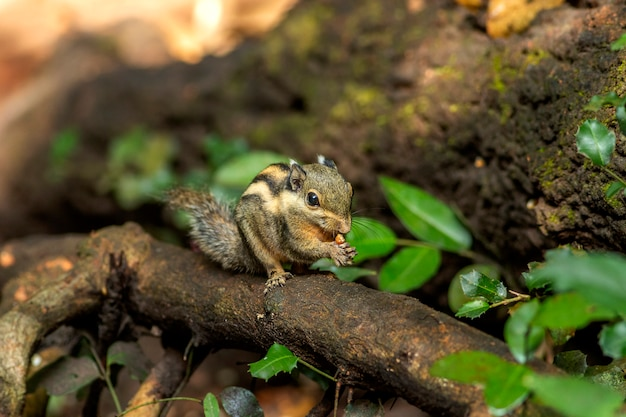 Himalaya gestreepte eekhoorn