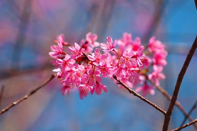 Himalayan roze bloesem mooi en romantisch op takboom met daglichtachtergrond