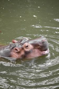 Hippo drijvend in het water.
