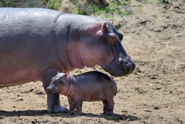 Hippo-familie (hippopotamus amphibius) buiten het water, afrika