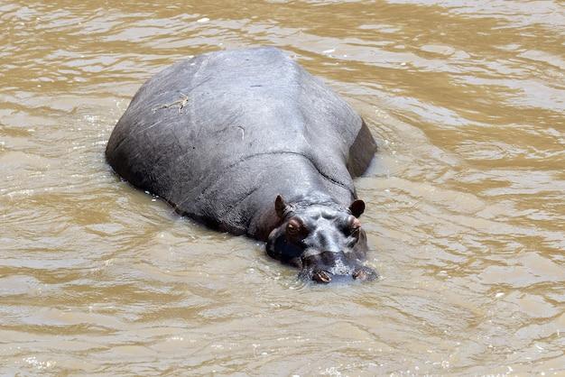 Hippo-familie (hippopotamus amphibius) in het water, afrika