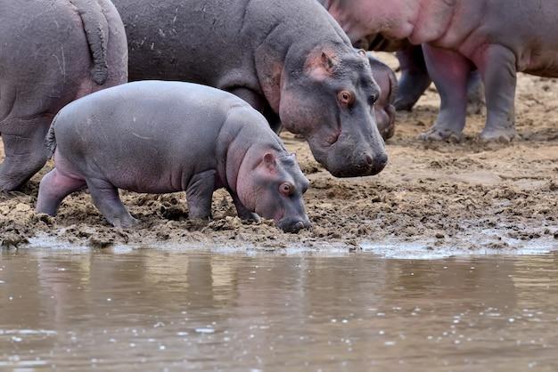 Hippo familie. kenia, afrika