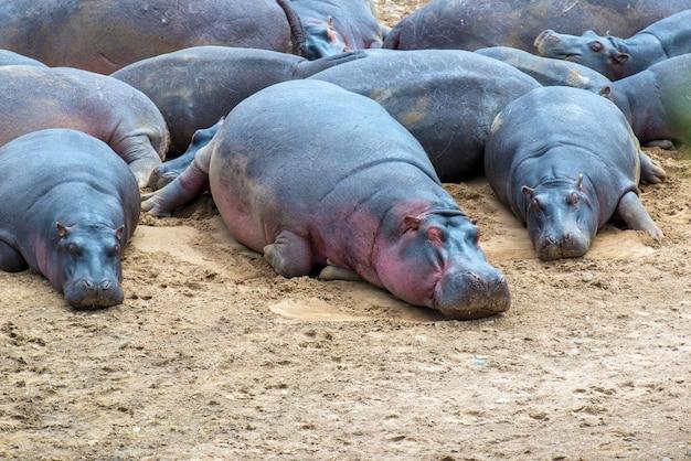 Hippofamilie (hippopotamus amphibius) buiten het water