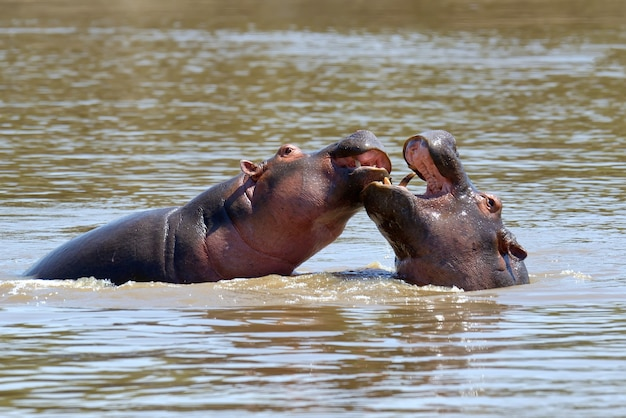 Hippofamilie (hippopotamus amphibius) in het water, afrika