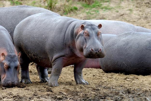 Hippofamilie in modder Premium Foto