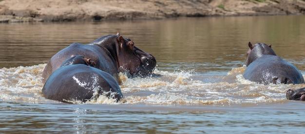 Hippofamilie (nijlpaardamphibius) in de rivier.