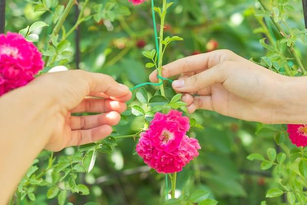 Hobby's van jonge vrouw groeiende rozenstruiken in de tuin, handen bindende takken