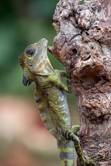 Hoek hoofdhagedis (gonocephalus bornensis) op boomstam
