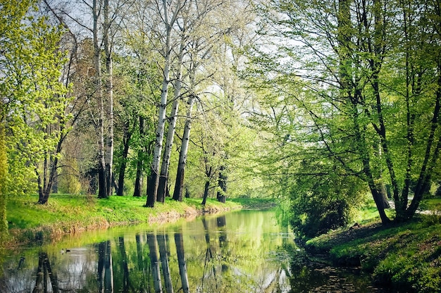 Hoge bomen met witte schorspopulier en oplossen de bladeren groeien op het meer op een zonnige lentedag