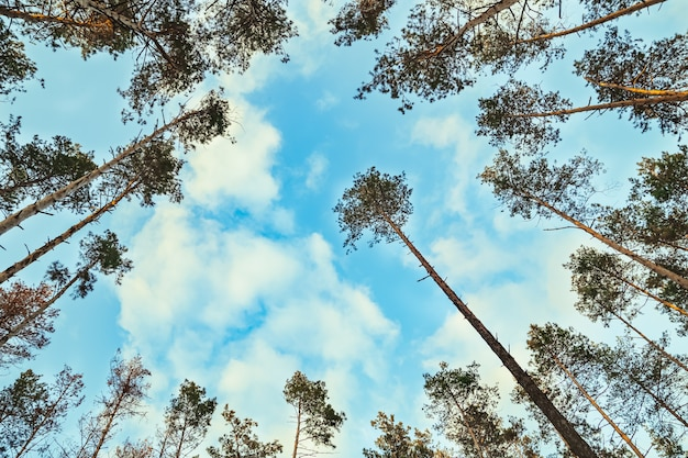 Hoge bomen silhouetten bos in zonnige dag bewolkte blauwe lucht dennen luifels lage hoek weergave