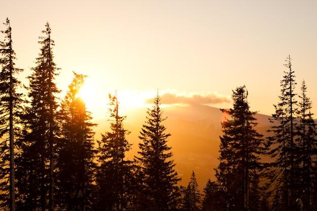 Hoge dennenboom kronen over heuvels en vallei achtergrond met heldere gouden zonsondergang hierboven op heldere zomerdag