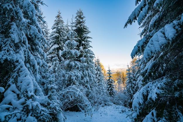 Hoge dichte oude sparren groeien op een besneeuwde helling in de bergen op een bewolkte mistige winterdag. het concept van de schoonheid van het winterbos en beschermde gebieden