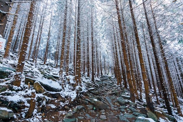 Hoge dichte oude sparren groeien op een besneeuwde helling in de bergen op een bewolkte mistige winterdag