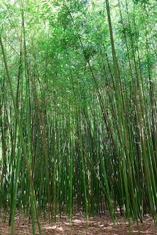 Hoge groene stam van bamboeplant