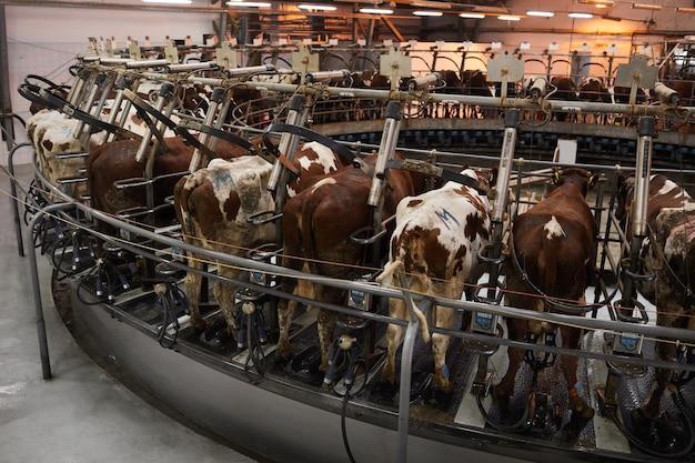 Hoge hoek achtergrondafbeelding van koeien in melkmachine op industriële melkveebedrijf, kopie ruimte