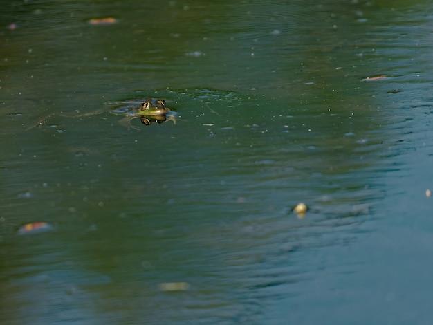Hoge hoek close-up shot van de eetbare kikker pelophylax esculentus in het meer