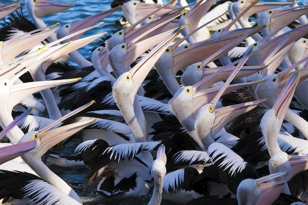 Hoge hoek close-up shot van een zwerm pelikanen