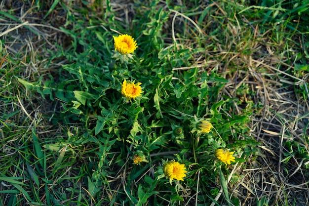 Hoge hoek close-up shot van gemeenschappelijke paardebloemen groeien op de bodem