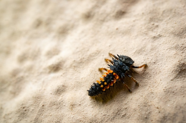 Hoge hoek die van de larven van een lieveheersbeestje op een zanderige grond is ontsproten