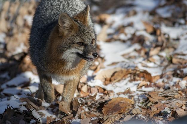 Hoge hoek die van een vos is ontsproten die rondkijkt