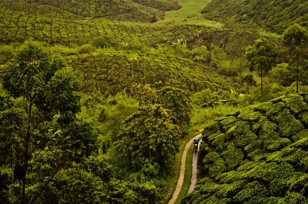 Hoge hoek die van een weg in het midden van de theeaanplanting in maleisië is ontsproten