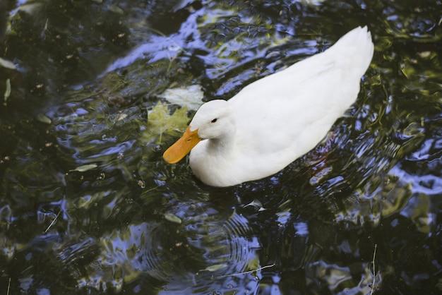 Hoge hoek die van een witte amerikaanse pekin-eend is ontsproten die in een vijver zwemt