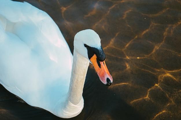 Hoge hoek die van een witte zwaan is ontsproten die op het water zwemt