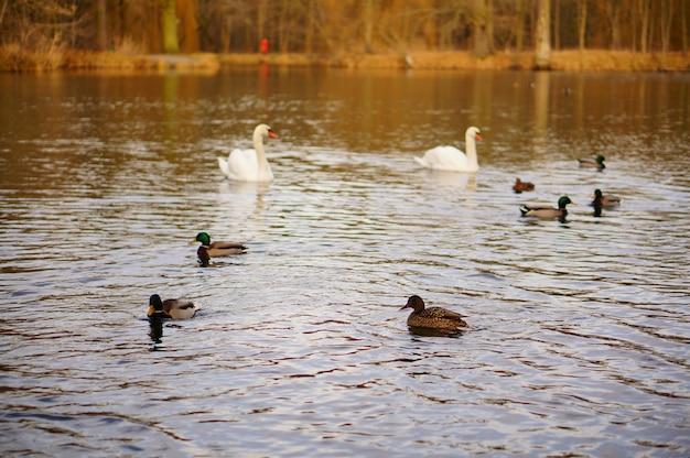 Hoge hoek die van eenden en zwanen is ontsproten die in het meer zwemmen