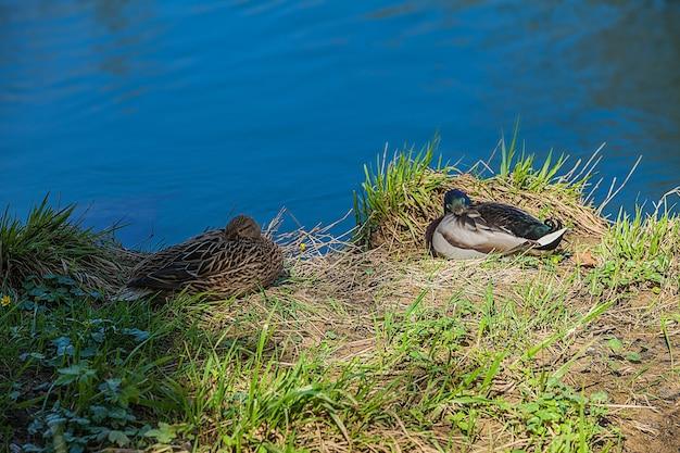 Hoge hoek die van twee eenden is ontsproten die aan de oever van het blauwe meer zitten