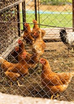 Hoge hoek kudde kippen