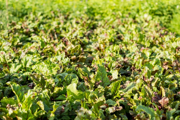 Hoge hoek organische sla veld