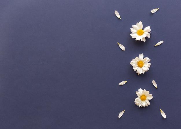 Hoge hoekmening van madeliefjebloemen en bloemblaadjes die op blauwe achtergrond worden verfraaid