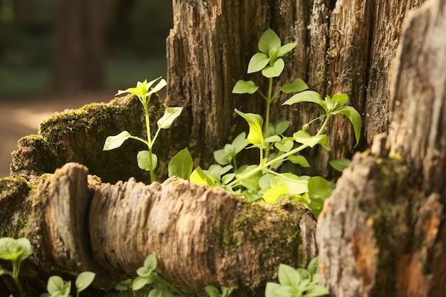 Hoge hoekopname van nieuwgroeiende groene bladeren op een oude boomstam
